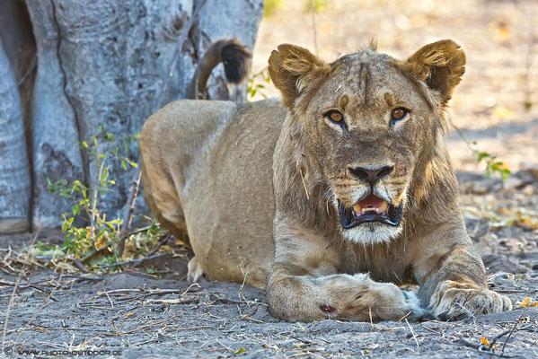 Löwenmännchen im Chobe-NP