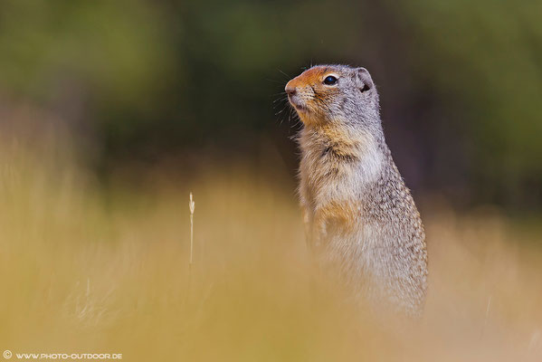 Ein Squirrel auf Beobachtungsposten.