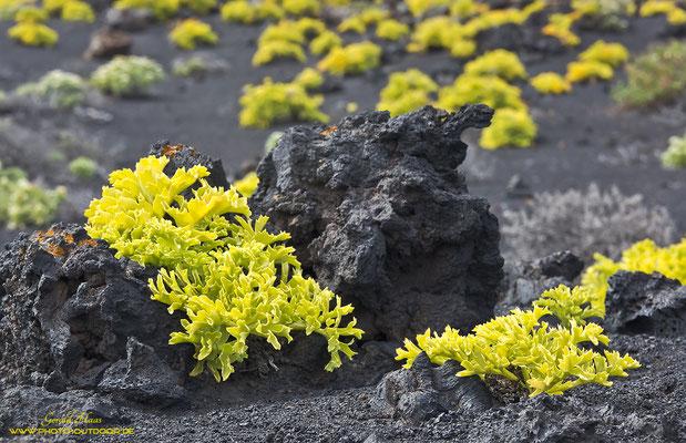 Am Südende der Insel: Im schwarzen Lavagestein kontrastieren diese Pflanzen