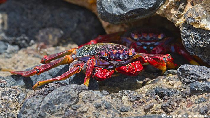 Eine Krabbe in den Felsen