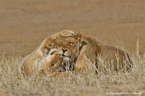 Auch Löwen knuddeln gerne!