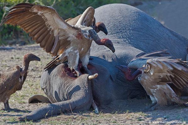 Ein junger Elefant im Chobe ist gestorben. Nachdem keine Löwen anwesend sind, gehen wir davon aus, dass er krank war. Die Geier haben für die nächsten Tage ausgesorgt.