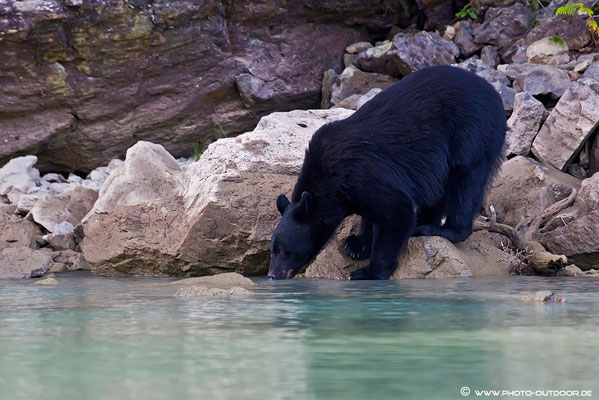Auch Schwarzbären haben Durst.