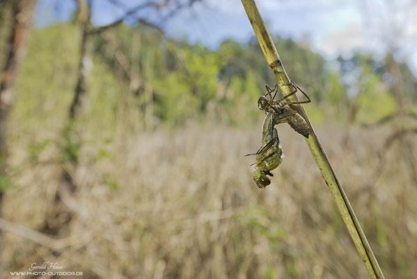 Eine Libelle in ihrem Umfeld während des Häutungsvorganges.