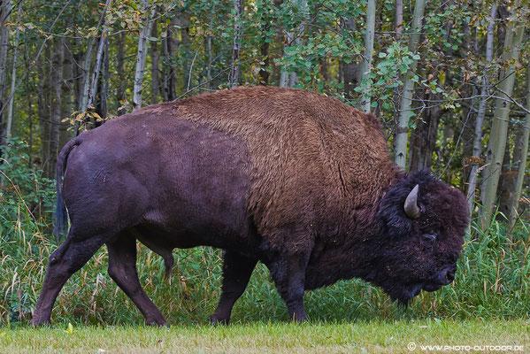 """""""Quadratisch"""" geballte Power: Ein Bison mit diesen Ausmaßen ist wahrlich ehrfurchtseinflößend!"""