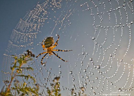 Eine Wespenspinne am frühen Morgen.