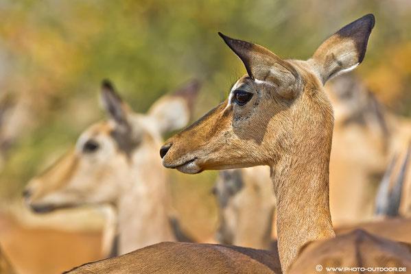 Impala-Portrait - Moremi-NP
