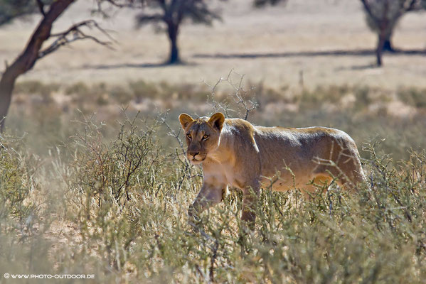 Löwin im Kgalagadi-NP