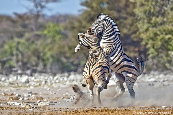 Keilerei unter Zebras. Es geht ordentlich zur Sache.