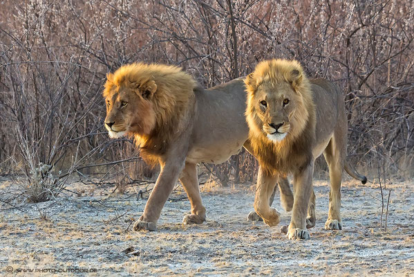 Die Löwenpaschas von Gemsbokvlakte - Etoscha-NP