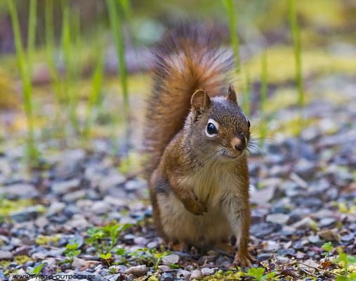 Die flinken Eichhörnchen sind unser ständiger Begleiter auf den Campingplätzen. Meistens waren sie zu schnell für mich, aber diese Mal hab´ ich eins erwischt ;-)