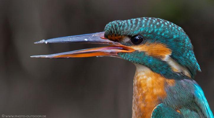 Close-up eines Eisvogelweibchens