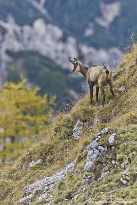 Ein Gams im herbstlichen Karwendel.