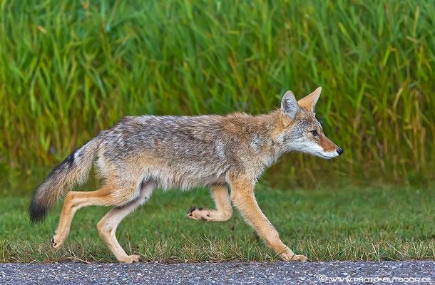 Ein Coyote im Laufschritt (Elk Island National Park).