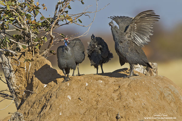 Gruppenmeting bei den Perlhühnern.