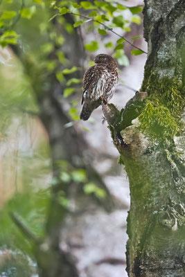 Der Sperlingskauz hat eine Maus  als Futterdepot am Baum abgelegt.