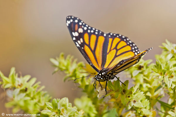 der Monarch ist der größte Schmetterling der kanarischen Inseln
