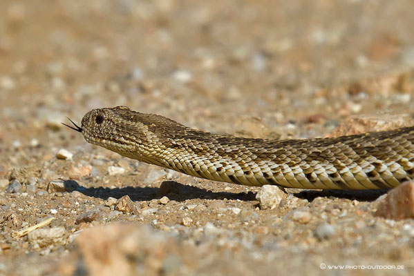 Hochgiftig: die Puffotter verursacht die meisten tödlichen Schlangenbisse in Namibia