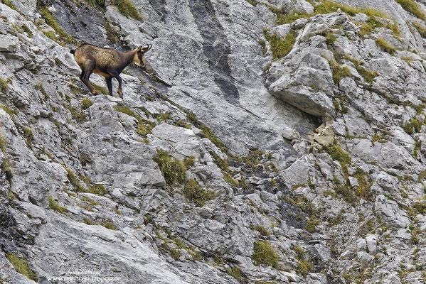 Eine  Gämse ist im steilen Fels des Karwendels unterwegs. Die Trittsicherheit dieser Tiere ist unglaublich!