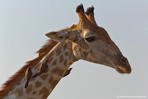 Giraffe mit Madenhackern im Chobe-NP