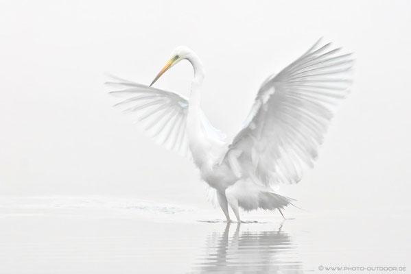 Wie ein weißer Engel tauchte der Silberreiher im dichten Nebel auf.