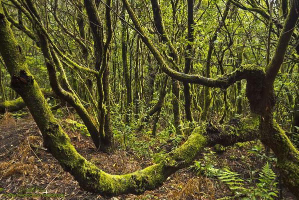 Tour durch den Urwald mit moosbesetzten Erikabäumen von El Pilar. Die Nacht zuvor hat es geregnet und leichter Nebel schirmte die Sonne ab: Perfekte Bedingungen zum Photographieren :-)