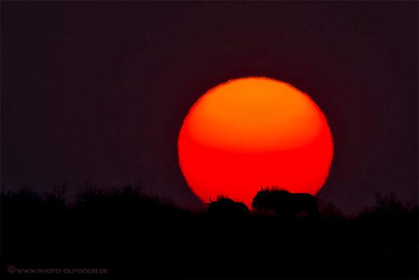 Gnus vor aufgehender Sonne