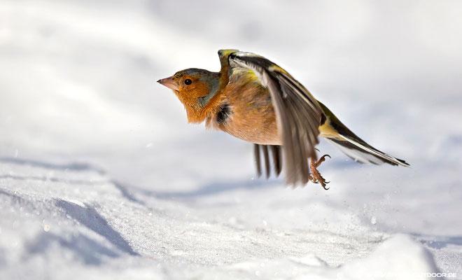 Ready for take off: Buchfink beim Durchstarten!