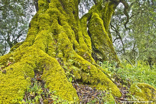 Die urigen Olivenbäume sind an manchen Orten dick mit Moos bewachsen
