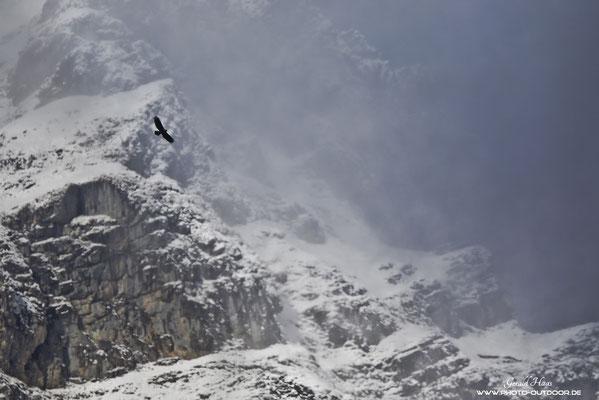 Ein Steinadler dreht seine Kreise vor dem verschneiten Karwendelgebirge.