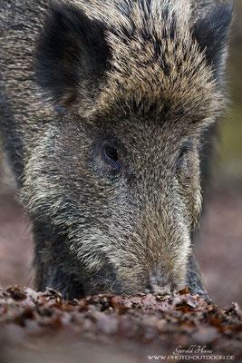 Die Perspektive machts: Auf Augenhöhe mit einem Wildschwein