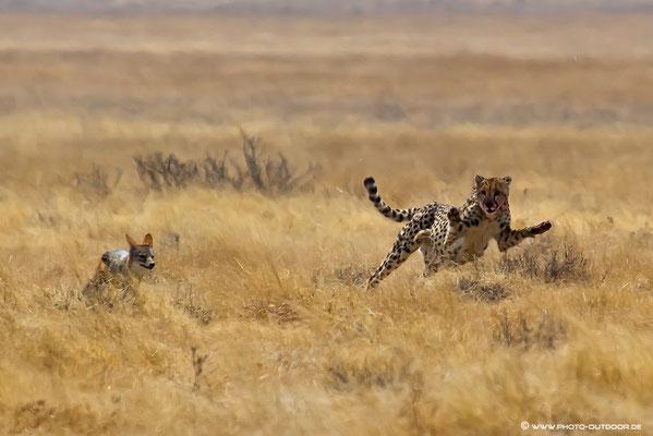 Gepard vertreibt aufdringlichen Schakal vom Riss