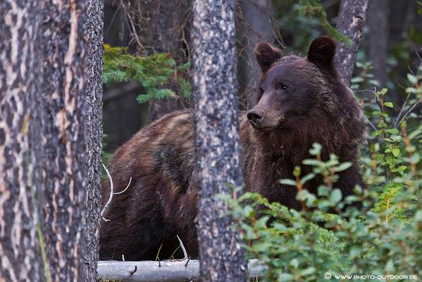 Adrenalinhaltige Begegnung: Ein Grizzly in den Wäldern des Sunshine Valley, Kanada.