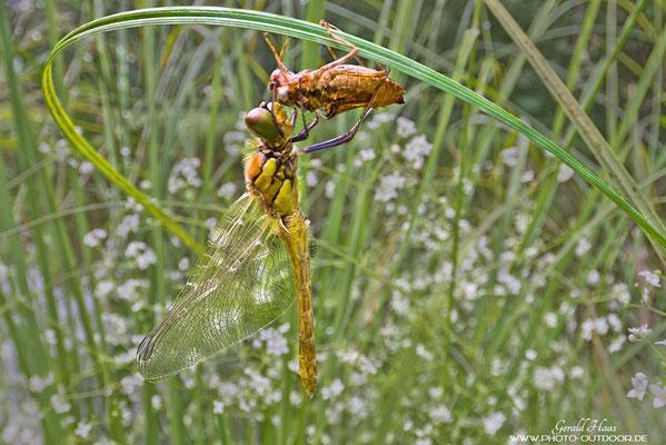 Eine Libelle kurz nach der Häutung.