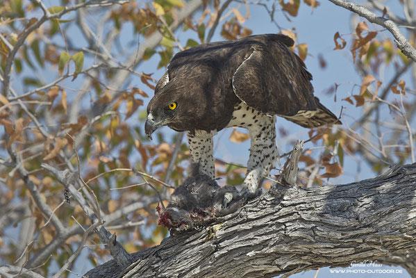 Der Name ist Programm: Ein Kampfadler hat ein Perlhuhn erbeutet. Die Größe dieses Adlers kann man erahnen, wenn man bedenkt, dass Perhühner so groß wie ein normales Huhn sind...