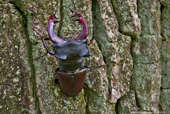 Die Bildschärfe des Objektivs kann sich sehen lassen: Hirschkäfer in seinem Habitat!