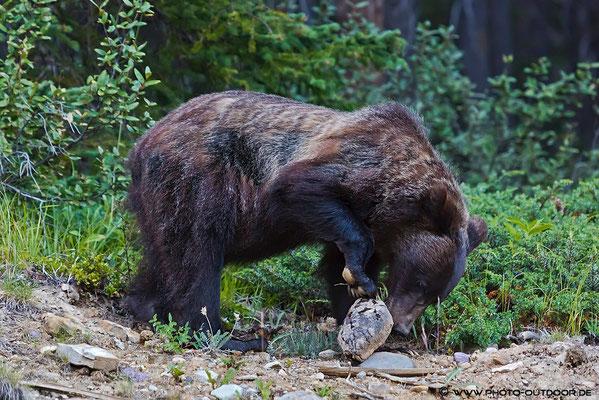 Ein Grizzly im Sunshine Valley auf Ostereiersuche.