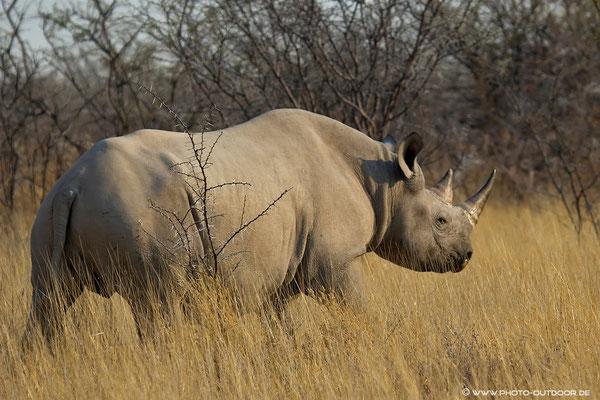 Rhino im Etoscha-NP