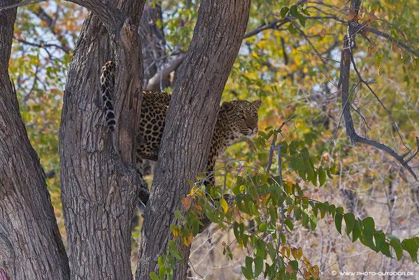 Der Adrenalinpegel steigt, wenn der Leopard vom Baum herabklettert.
