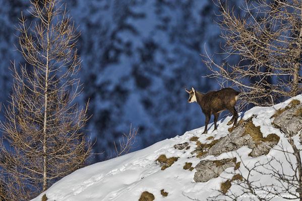 Gratwanderung einer Gams im winterlichen Umfeld.