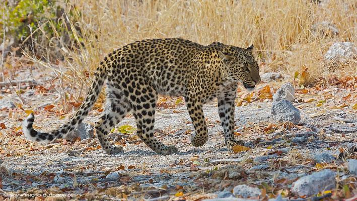 Wow - das Leopardenweibchen zeigt sich von seiner schönsten Seite