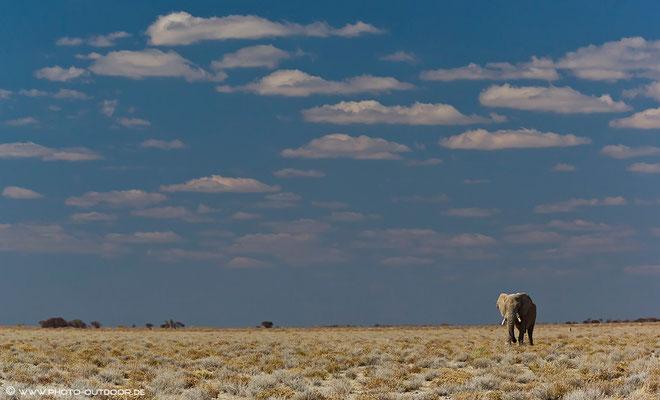 Einsamer Elefantenbulle im Etoscha-NP