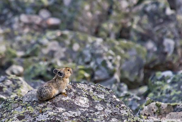 Die Pika-Maus sieht aus wie eine Kreuzung aus Hase und Maus. Charakterisitisch ist das hohe Quieken der Pikas.