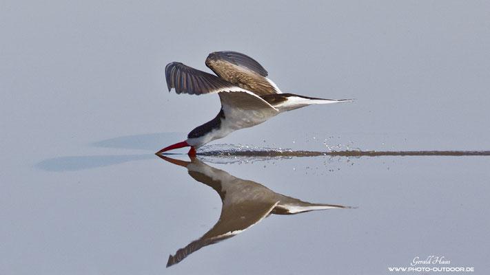 Ein Scherenschnabel mit seiner sehenswerten Fangmethode. Stößt sein Schnabel auf eine Fisch, klappt der Schnabel automatisch zu.
