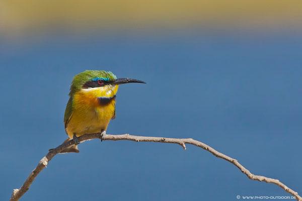 Zwergspint im Chobe-NP/Botswana