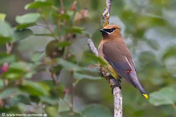Ein Seidenschwanz ist offensichtlich in verschiedene Farbtöpfe gefallen, gelbe Schwanzfedern und rote Flügelspitzen.