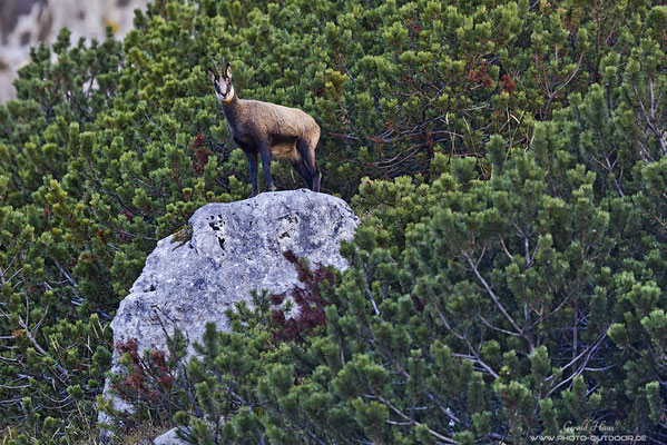 Karwendelkönig: Von einem felsigen Thron beobachtet eine Gams ihr Karwendel-Reich.