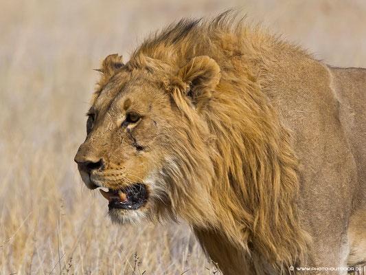 Löwenportrait: Ein paar Kämpfe hat er wohl schon hinter sich.