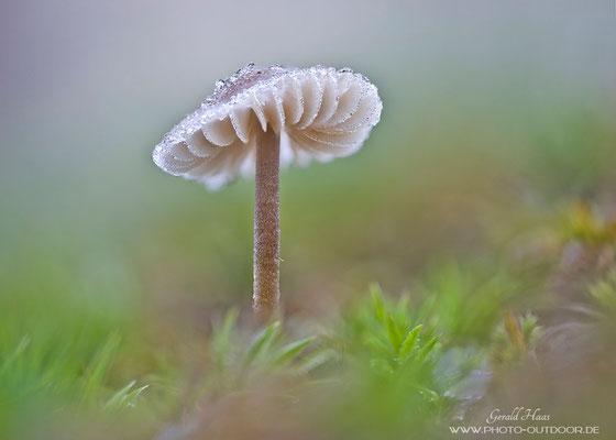 Auch dieser Pilz hat über Nacht einen dünnen Eispanzer bekommen.