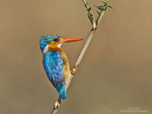Ein Malachit-Kingfisher am Schilfhalm im Chobe-NP/Botswana.